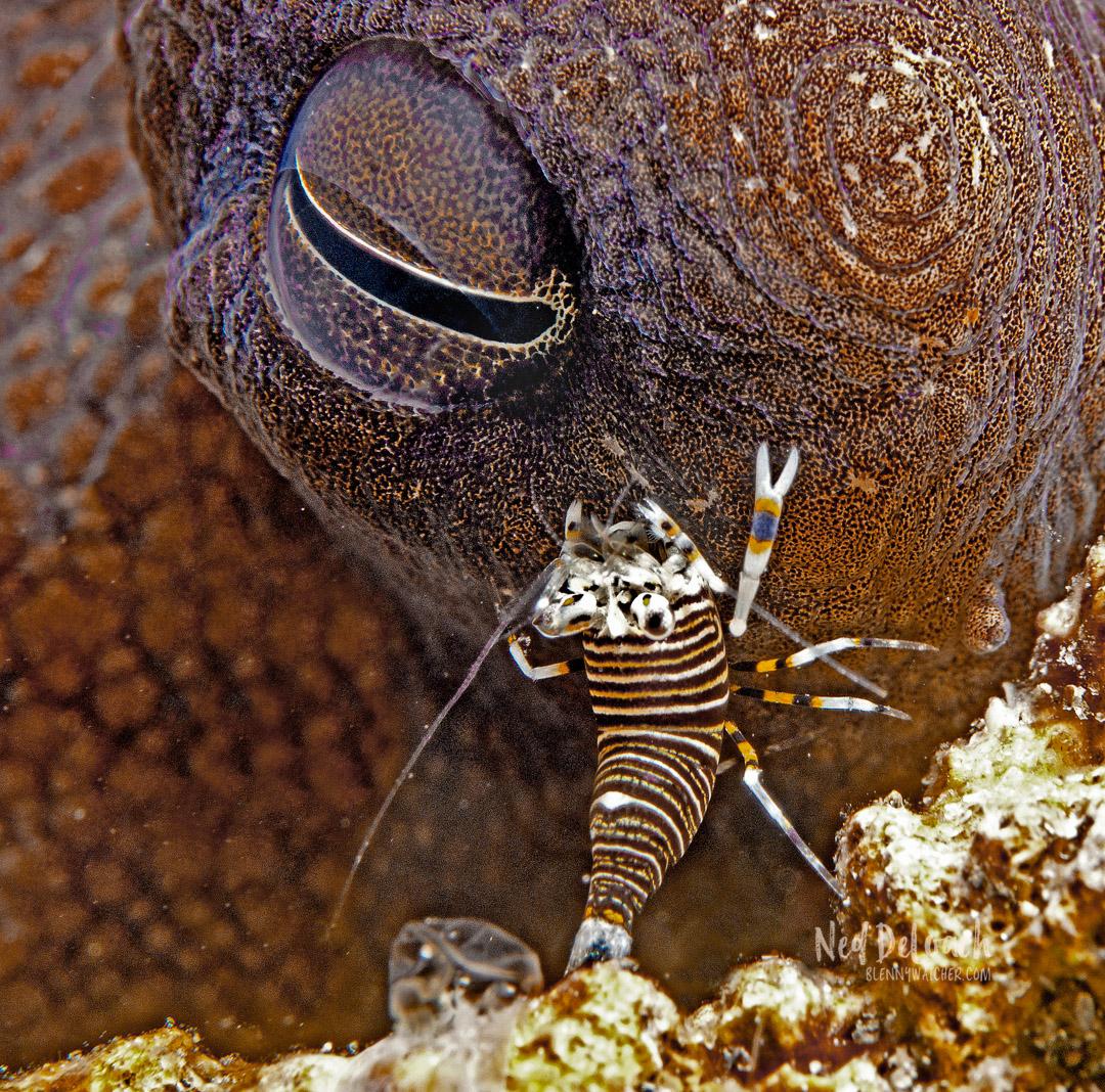 A bumblebee shrimp walks over an octopus