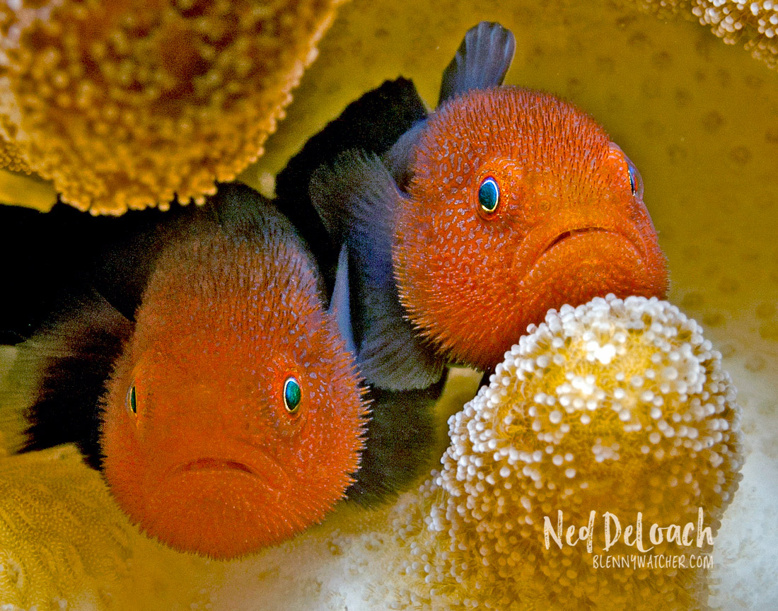 Redhead Goby Paragobiodon echinocephalus photgraphed by Ned DeLoach