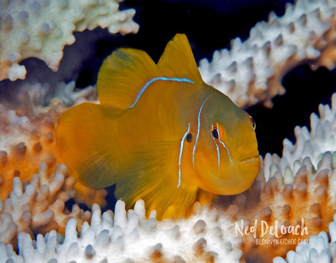 Lemon coralgoby, Gobiodon citrinus