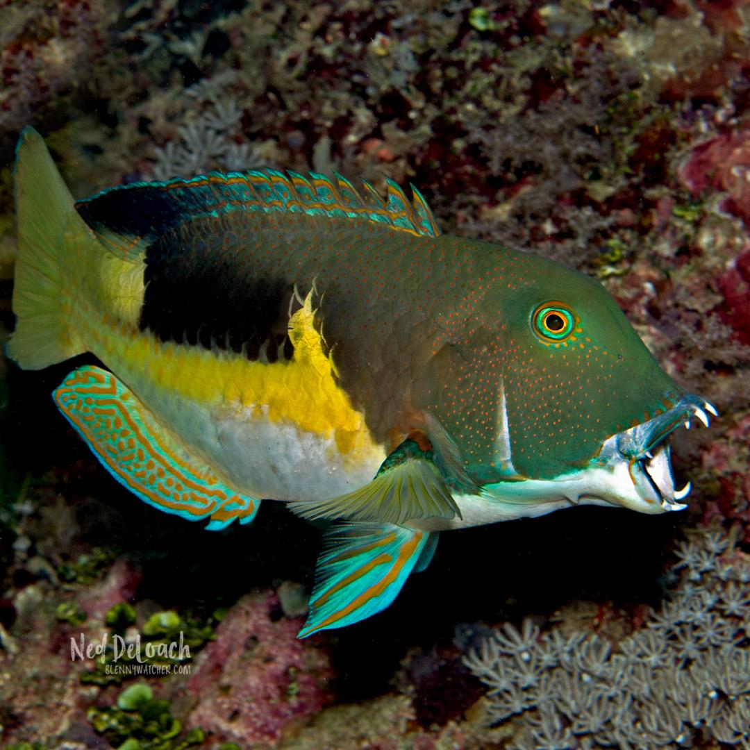 Anchor Tuskfish