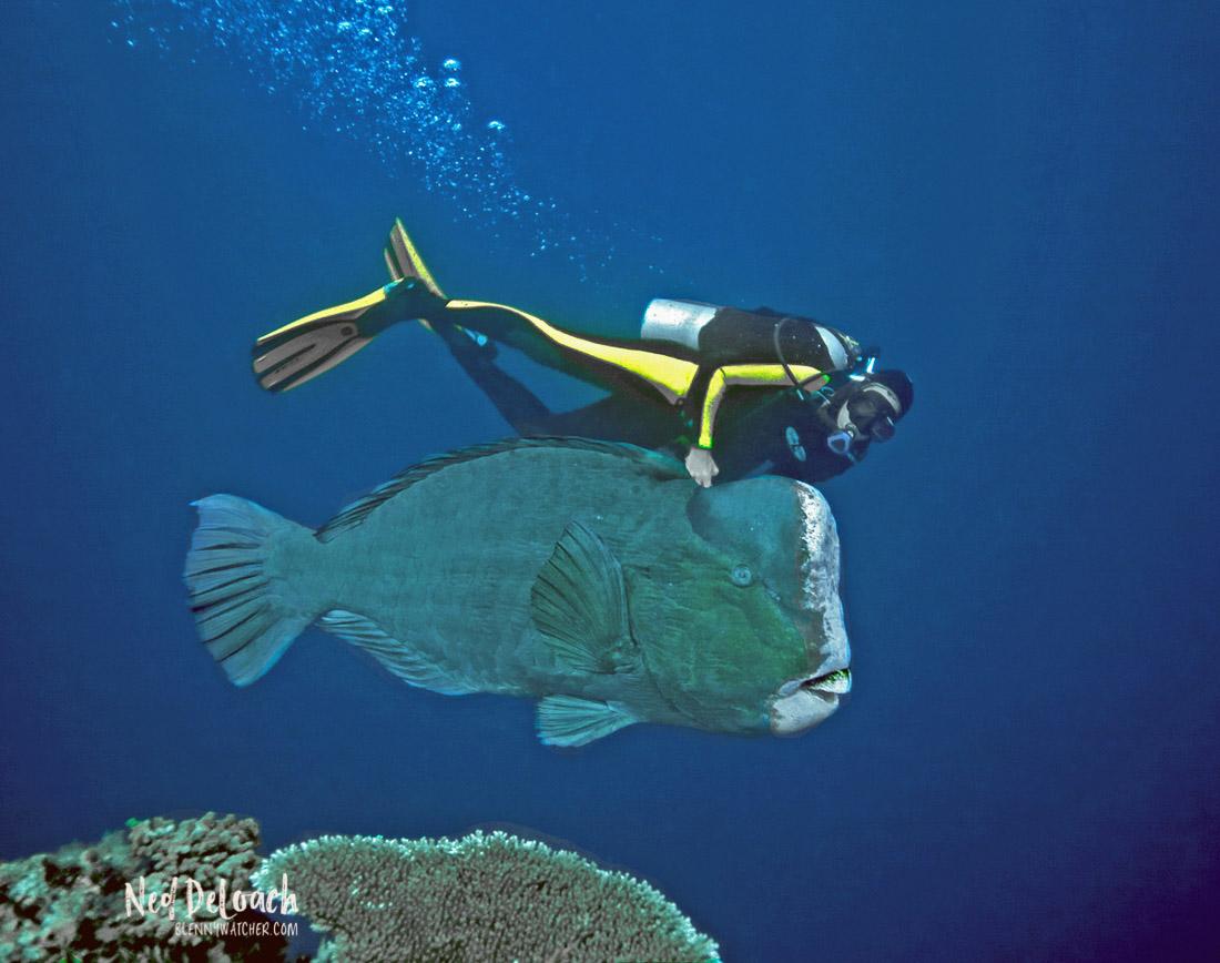 Bumphead Parrotfish, Bolbometopon muricatum