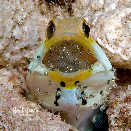 Yellowhead Jawfish Hatching Eggs: Hatching jawfish eggs DeLoach 1x1