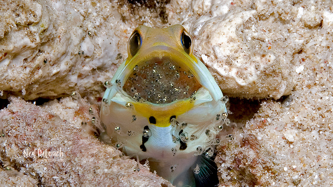 Yellowhead Jawfish Hatching Eggs: A male jawfish releases hatching eggs.