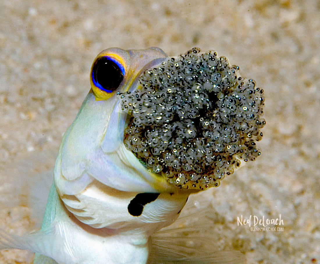 A male jawfish aerates eggs that he is guarding in his mouth.