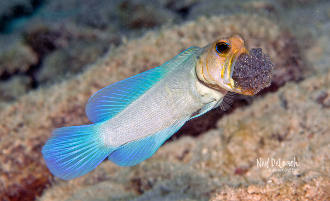 Male jawfish are mouthbrooders, guarding eggs in their mouths until they hatch.