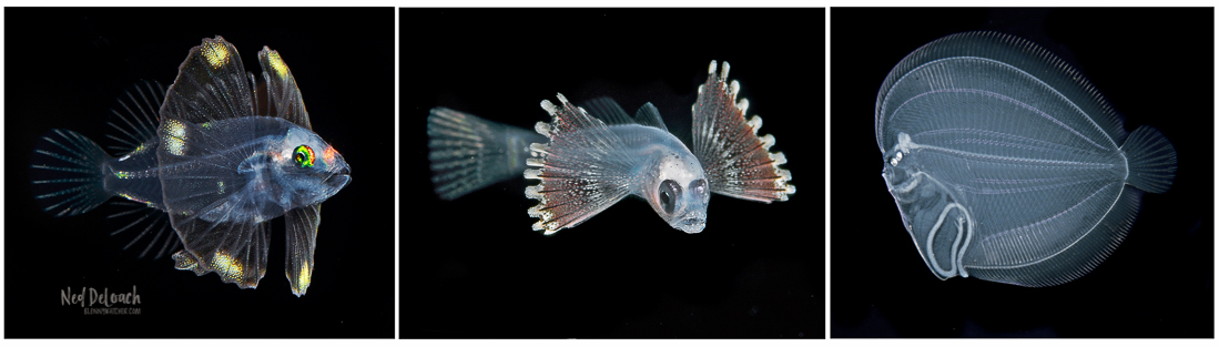 Post larval fishes seen in open water night drifts off Kona, Hawaii.