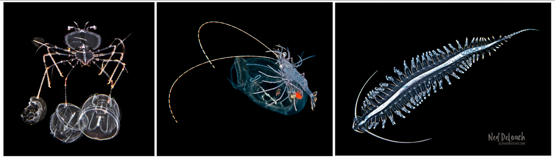 Invertebrates encountered on blackwater dive off Kona