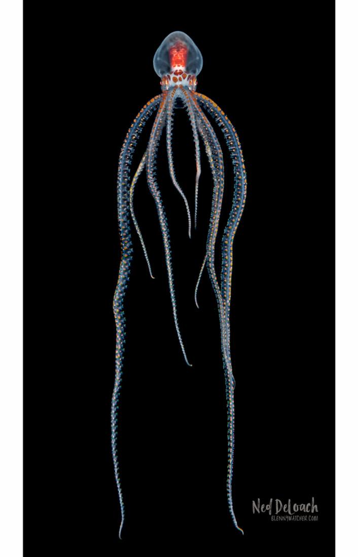 Larval Ornate Octopus hangs in mid-water.