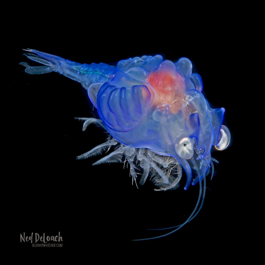 Larva of the deepwater shrimp, Plesiopenaeus amatus, about ¾ inch
