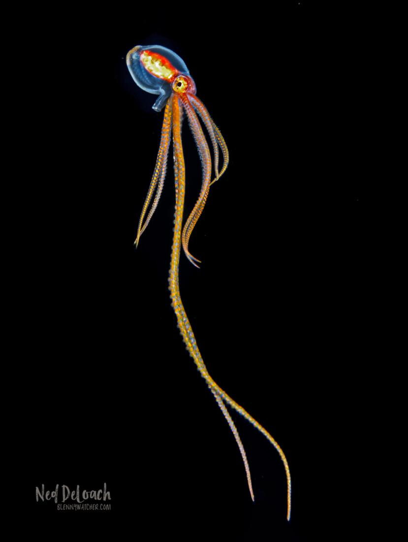 Larval Ornate Octopus, Kona Hawaii