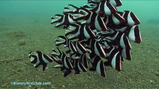 Juvenile Emperor Snappers in Lembeh Strait