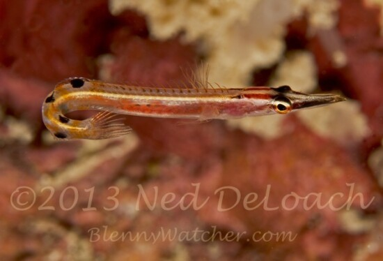Arrow Blenny Ned DeLoach BlennyWatcher.com