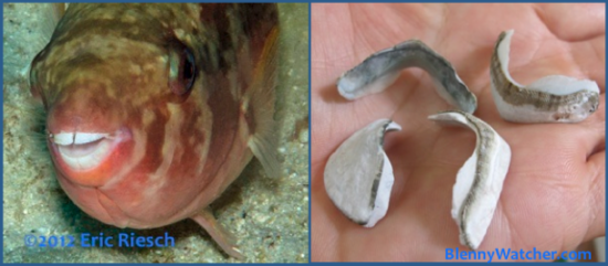 Beaks with & without parrotfish BlennyWatcher.com