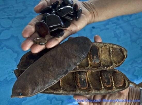 Kicha Island sea beans Anna DeLoach BlennyWatcher.co