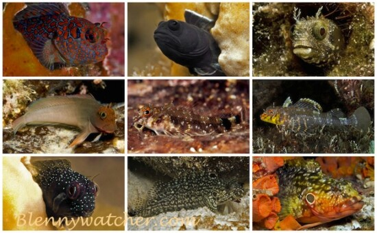 Blennies of Bonaire