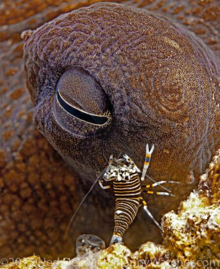 Bumblebee shrimp crawling over octopus
