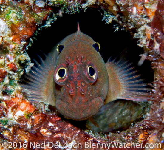 Cirripectes auritus: Now I Know How the Eared Blenny Got Its Name