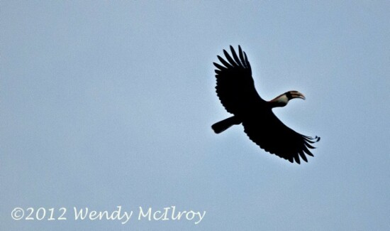 Hornbill over Batanta by Wendy McIlroy via BlennyWatcher.com