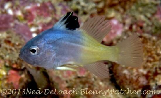 Juvenile Soapfish Ned DeLoach BlennyWatcher.com