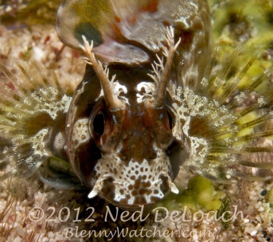 Longhorn Blenny face Ned DeLoach BlennyWatcher.com