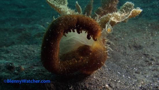 Melibe nudibranch feeding Blenny Watcher Blog