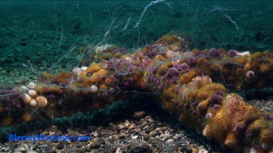 More Ctenophores Blenny Watcher Blog