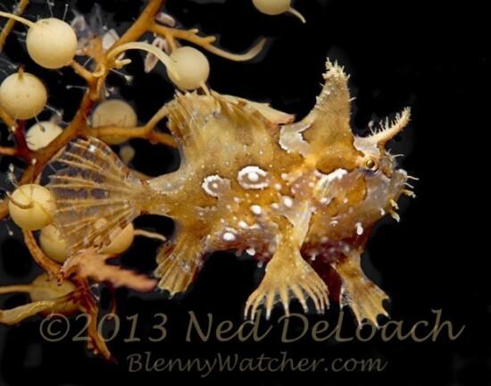 Sargassumfish Ned DeLoach BlennyWatcher.com