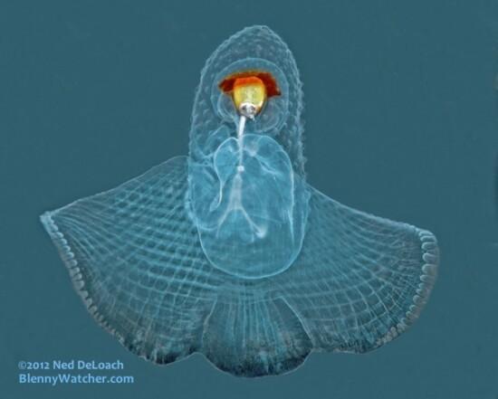Sea Butterfly Ned DeLoach Blenny Watcher Blog