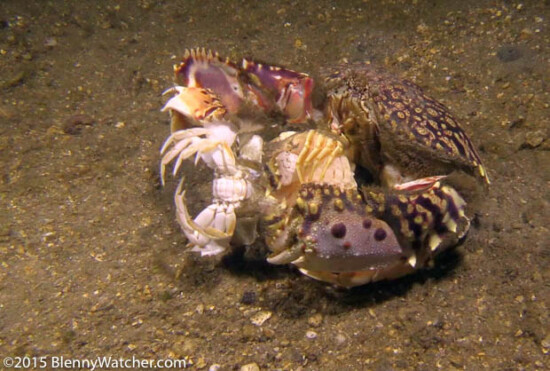 Ocellate Box Crab, Calappa ocellata, male grasping a female as she has almost finished molting