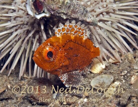 Short Bigeye juvenile Ned DeLoach BlennyWatcher.com