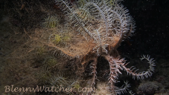 Spawning echinoderms: Crinoid