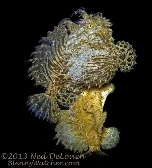 Spawning Striated Frogfish by Ned DeLoach for BlennyWatcher.com