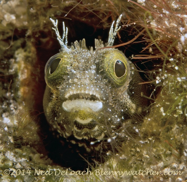 Spinyhead Blenny, Acanthemblemaria spinosa