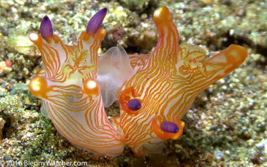 Thecacera mating - Happy Sea Slug Day