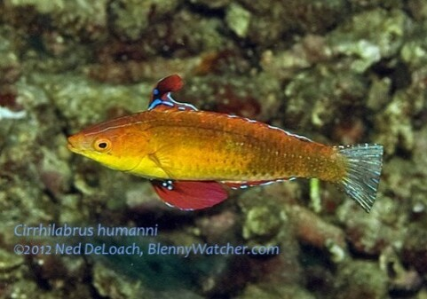 New fairy wrasse, Cirrhilabrus humanni by Ned DeLoach